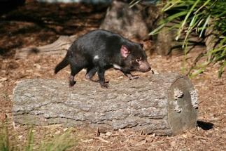 tasmanian-devil-606328